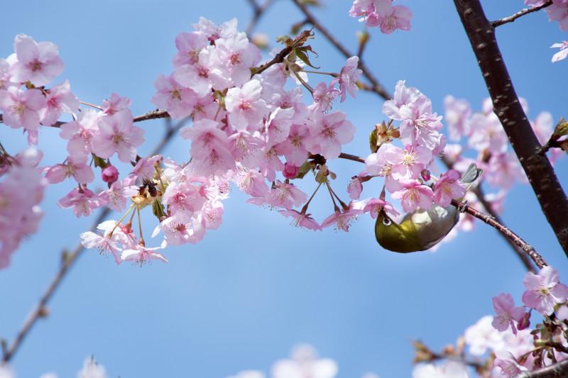 逆さで桜の蜜を吸うメジロ(蘇原自然公園)